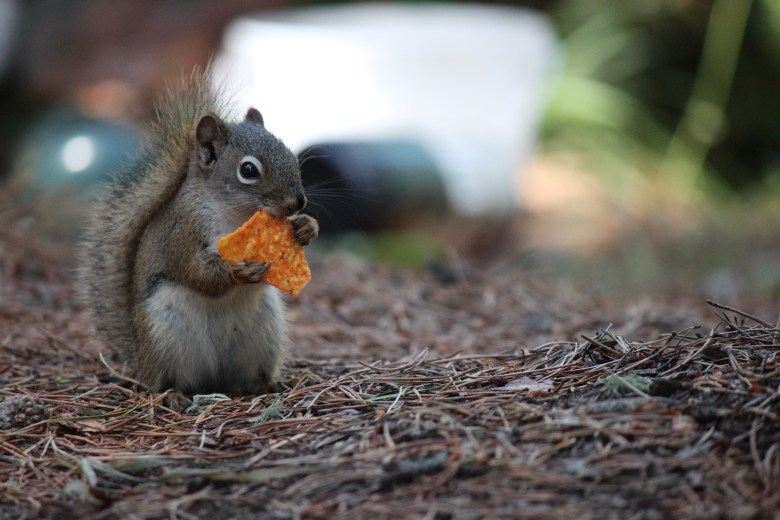 Squirrel with Dorito