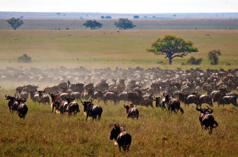 Wildebeest on Safari, The Serengeti