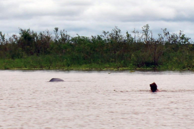 Swimming with pink, freshwater, river dolphins.