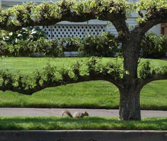 árvore espalier