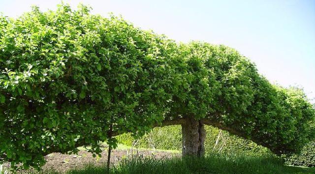espalier de árvores frutíferas