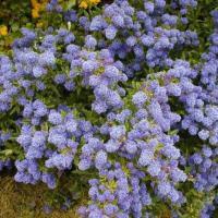 Ceanothus, Lovely Flowering Shrubs for Cold Climates