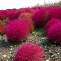 Easy to Grow Foliage Plant: Kochia Scoparia (Summer Cypress)