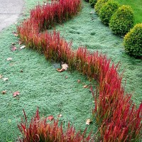Imperata cylindrica 'Rubra': the Japanese Bloodgrass