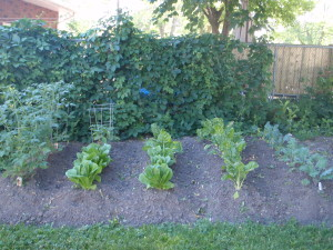 Edible lawn Ottawa urban gardening compost sustainable grow food