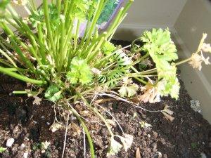 parsley caterpillar urban gardening Ottawa Ontario