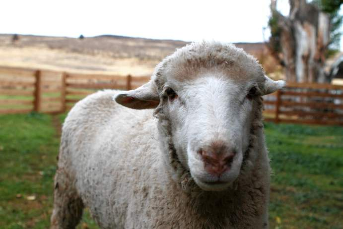 Made in America, From Sheep to Shelf: Zady's Feel-Good Sweater