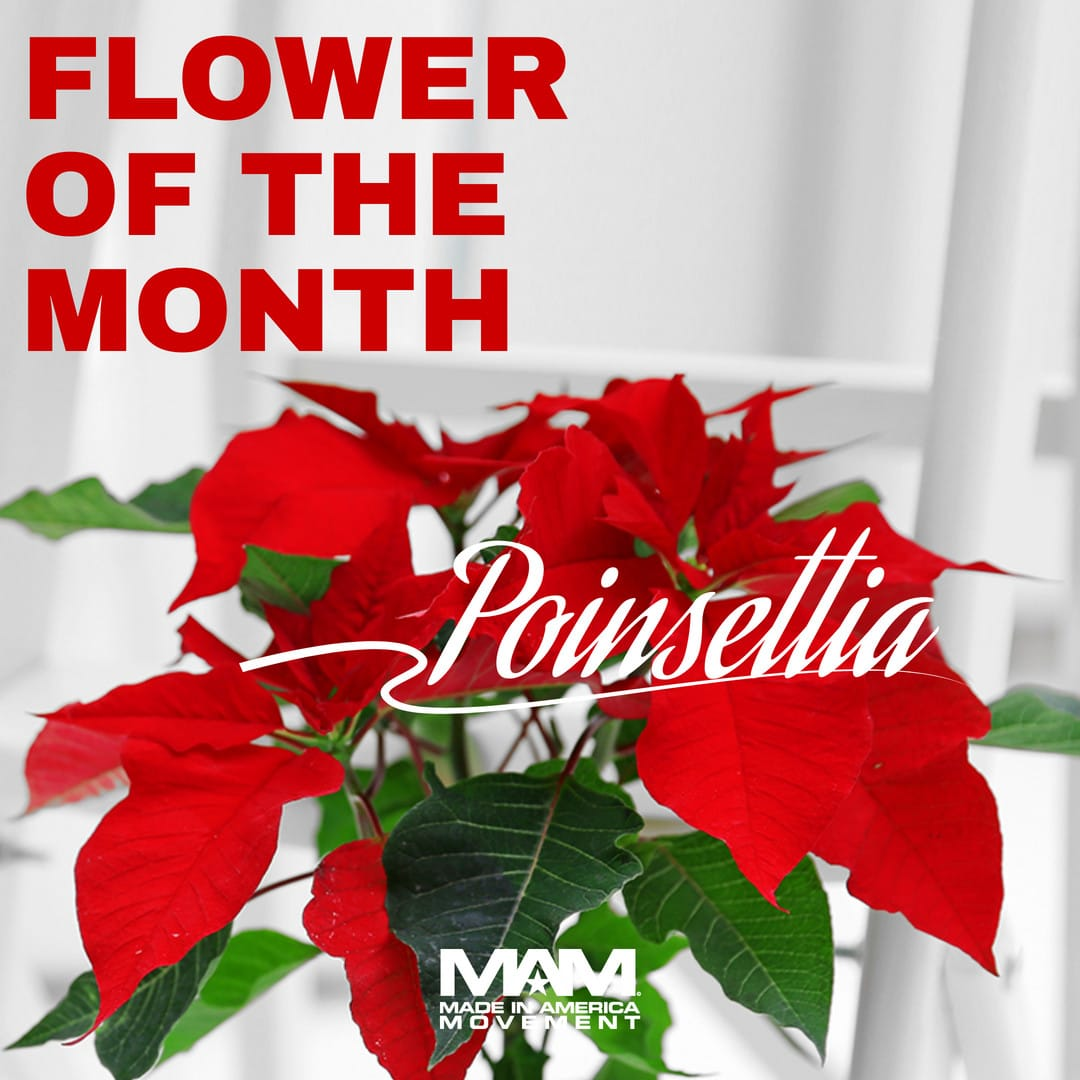 Birth Month Flower of December - The Poinsettia