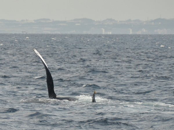whale-watching-okinawa_9863