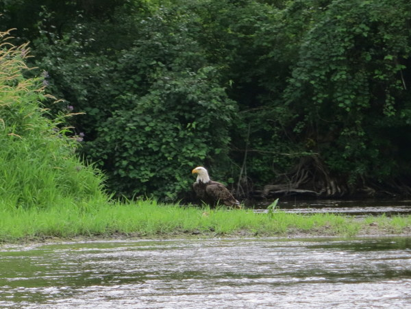 milwaukee-river-bald-eagle