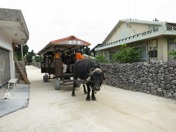 taketomi-water-buffalo-ride-004