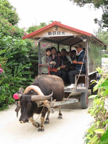 taketomi-water-buffalo-ride