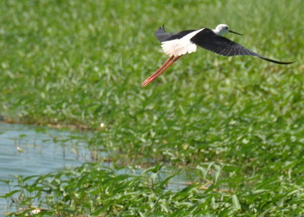 black-winged-stilt 2