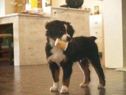 Mini Australian Shepard Puppy Dog