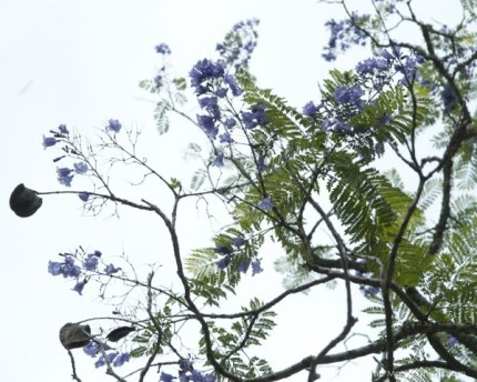 Jacaranda Trees in Bloom : www.theMagicOnions.com