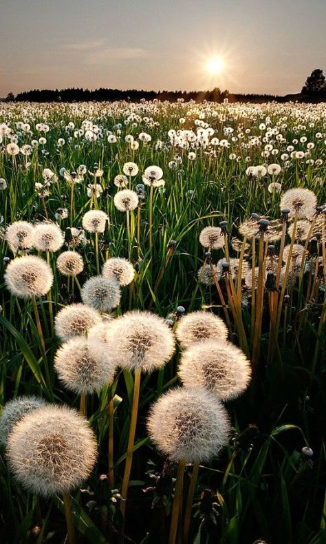 Gorgeous photo of a field of dandelions