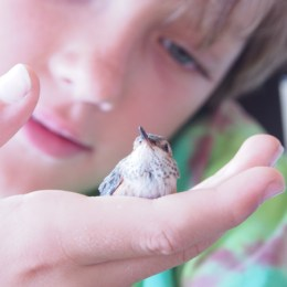A Baby Hummingbird Comes To Stay.