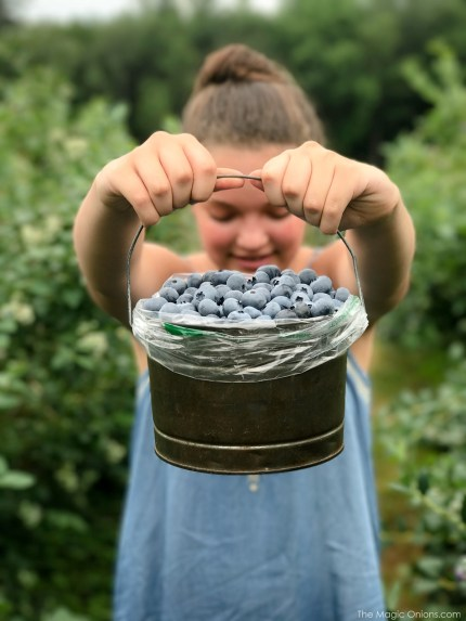 Picking Blueberries at Monadnock Berries, New Hampshire 8
