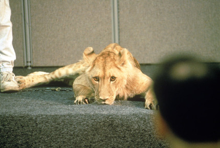 Lion-King-Research-Photography-4