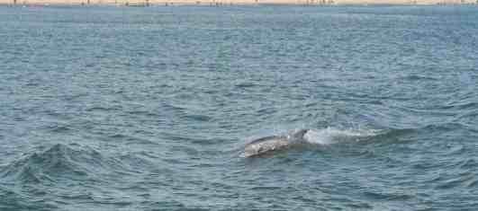 Virginia Beach dolphin