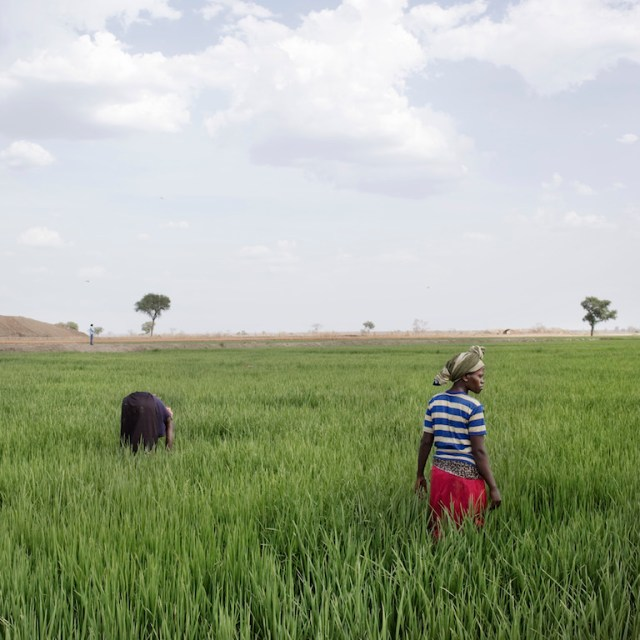 Gambella, Ethiopia, 2012. Local workers in the rice filelds of Saudi Star in Gambella. Saudi Star, which belong to the Sheik Al-Almoudi, plans to spend up to $2bn acquiring and developing 500,000 hectares of land in Ethiopia in the next few years.