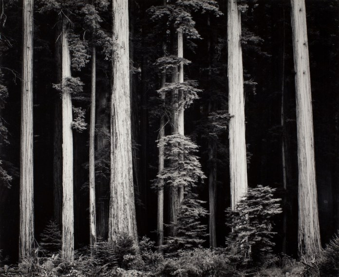 Ansel Adams Redwoods, Bull Creek Flat, Northern California, 1960 ca. stampa alla gelatina d'argento 24 x 29 cm © The Ansel Adams Publishing Rights Trust