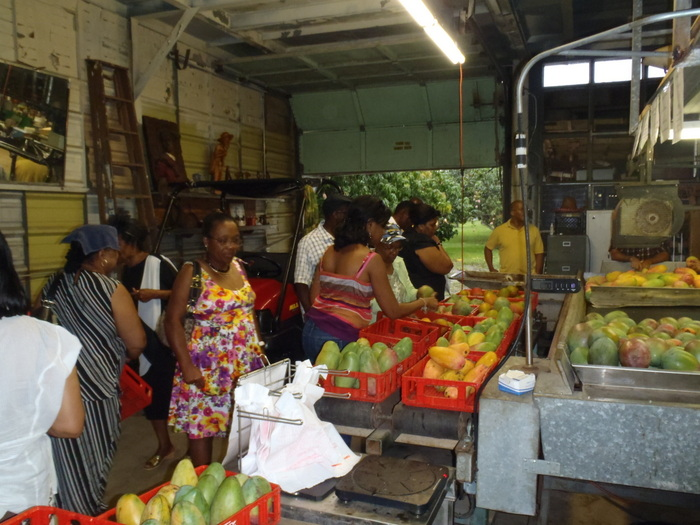 Customers happily making their mango selections