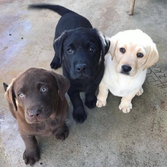 black brown and golden labs