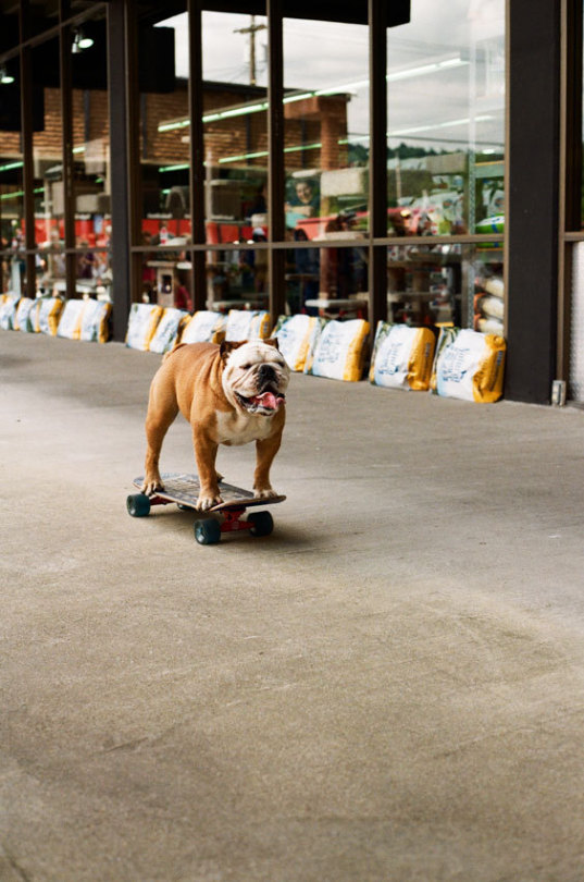 bulldog on skateboard