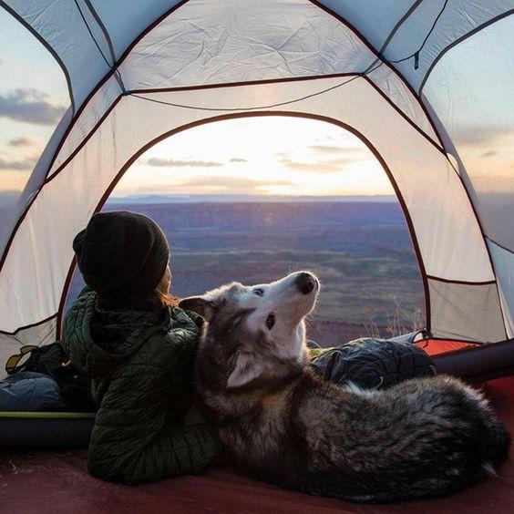 husky in tent