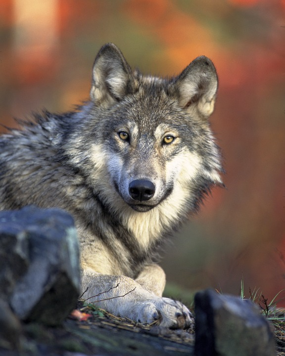 stoic looking wolf