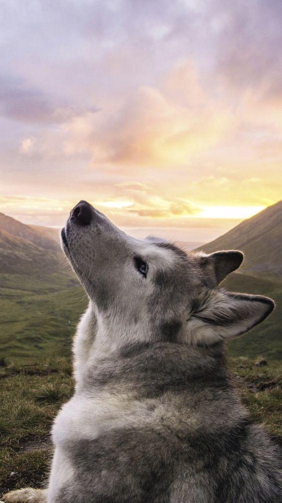 husky outdoors