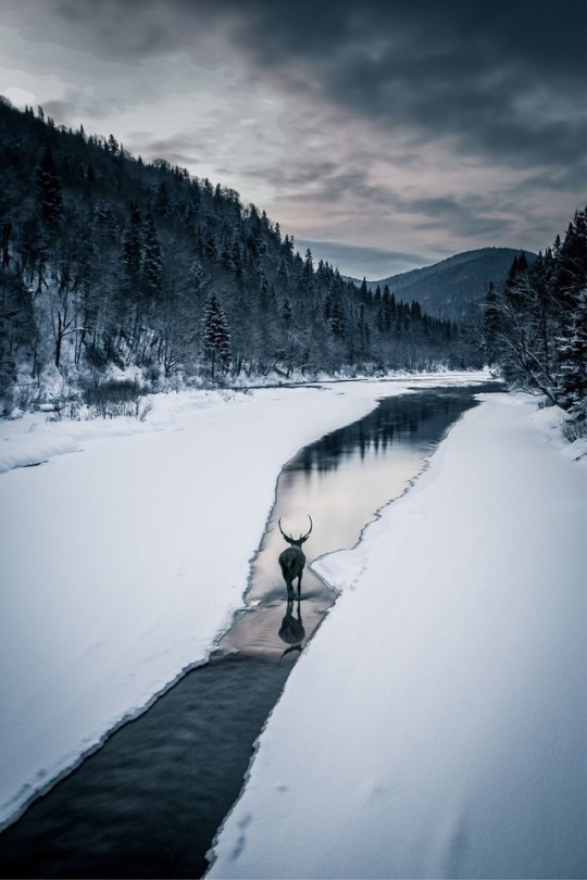 deer walking in stream during winter