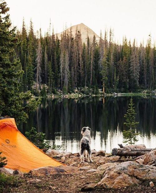 dog looking at lake next to tent
