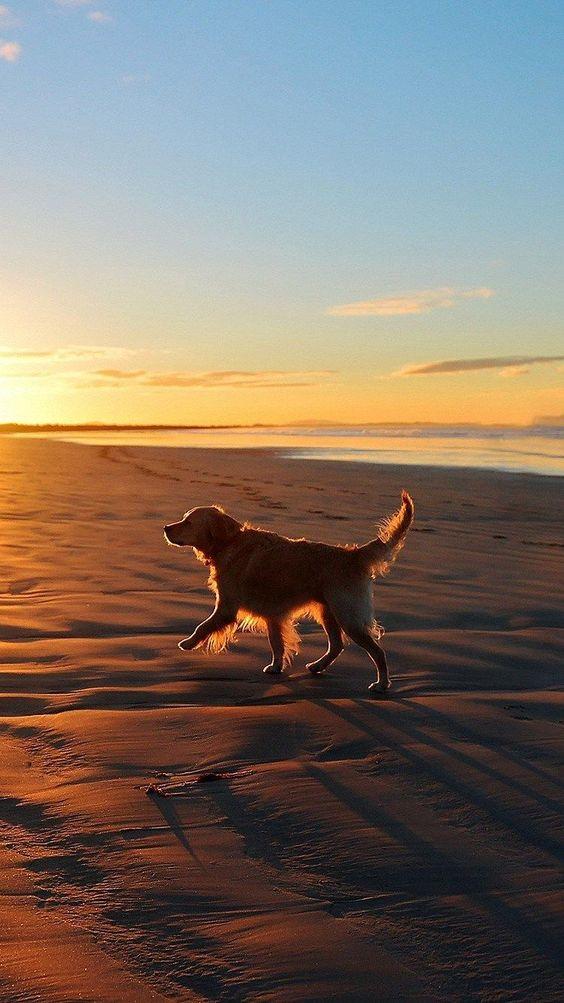 dog running on beach sunset