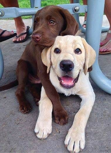 chocolate and golden labs are best buddies