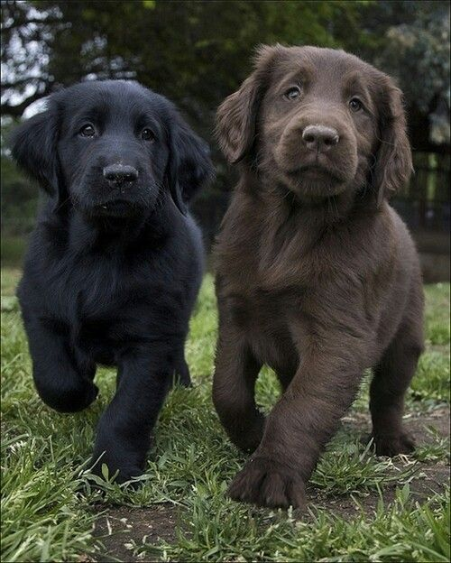 lab puppies are best buds