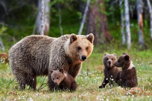 Brown mother bear protecting her cubs in a Finnish forest
