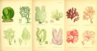 Stunning Drawings of Seaweed from a Book by Self-Taught Victorian Marine Biologist Margaret Gatty