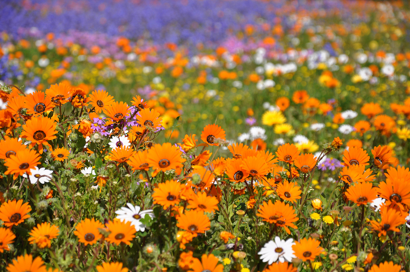 Day trips to the Spring wild flowers from Cape Town
