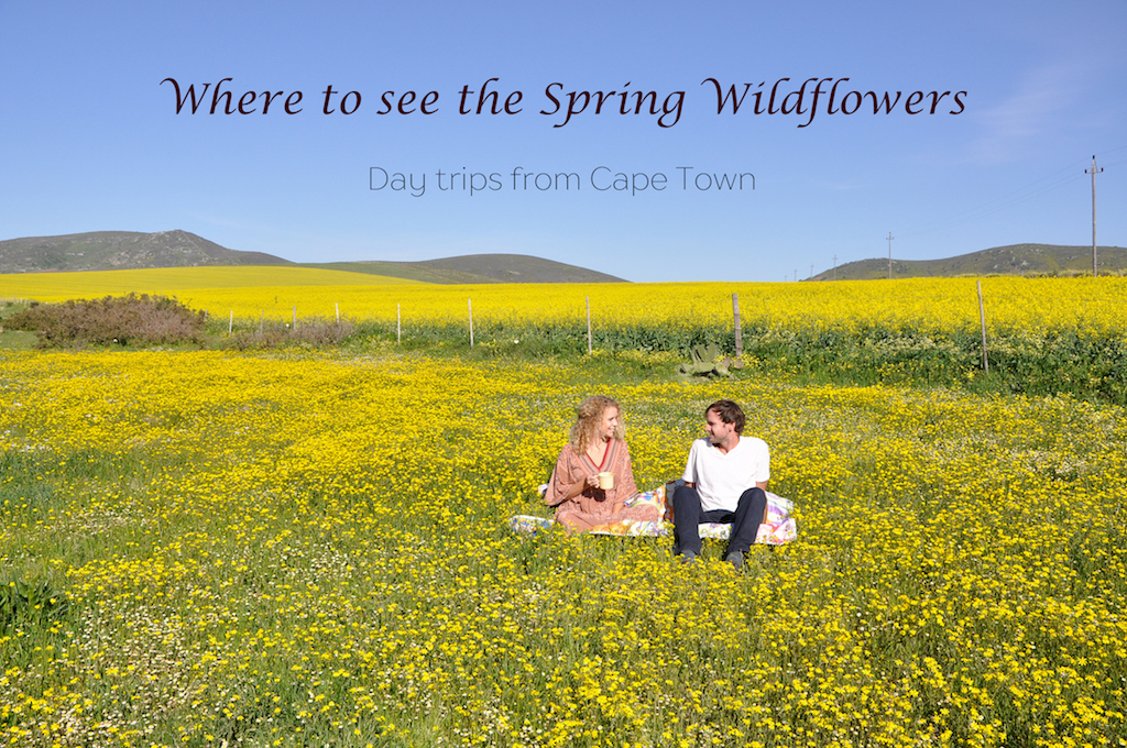 Day trips to the spring wild flowers from cape town south africa day trips to the spring wild flowers from cape town mightylinksfo