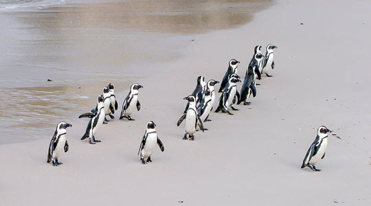 A group of penguins walking up a beach with one in the front