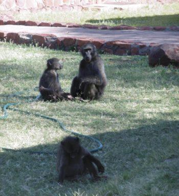 rsz_baboons2