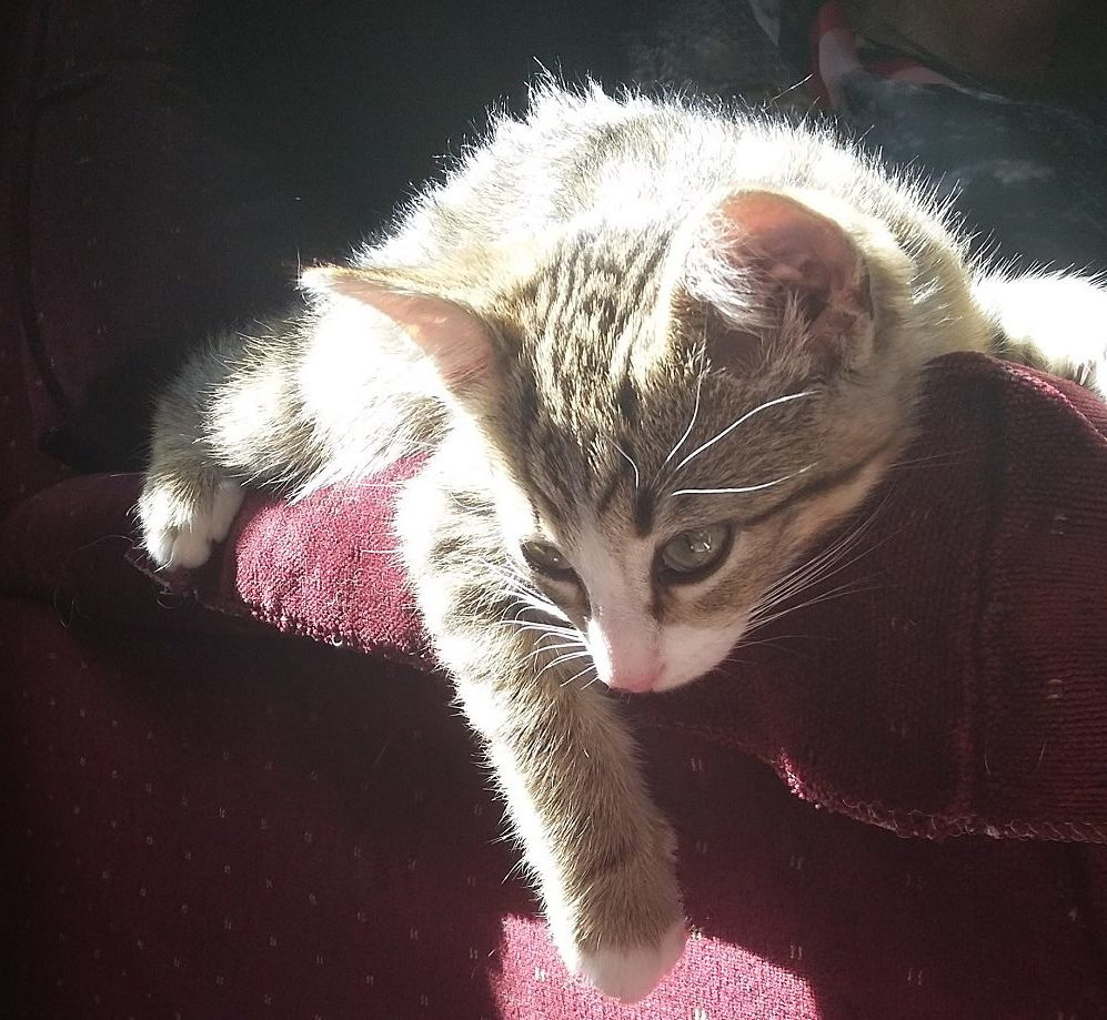 Immune-mediated polyarthritis is a debilitating condition in cats that can end up requiring lifelong management. Read more to learn how we treated our kitten Loki's immune-mediated polyarthritis and find out what steps you can take to make life easier for a cat with IMPA.