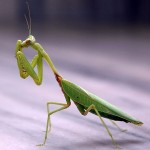 Praying Mantis - Focused Animal Spirit