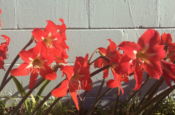 Amaryllis in a border