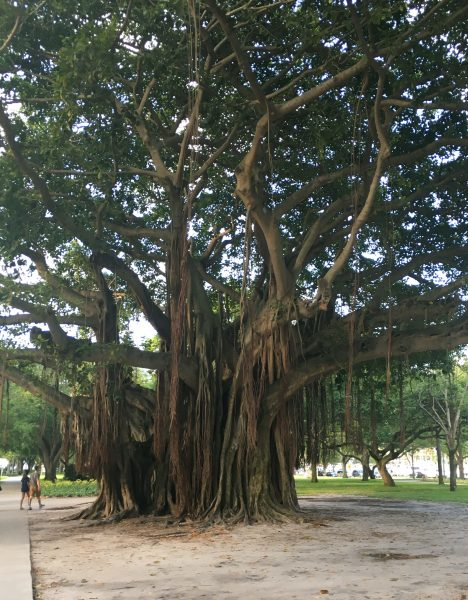 Banyan tree in Florida