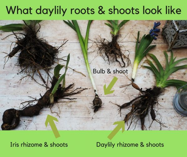 Daylilies are edible but check them carefully