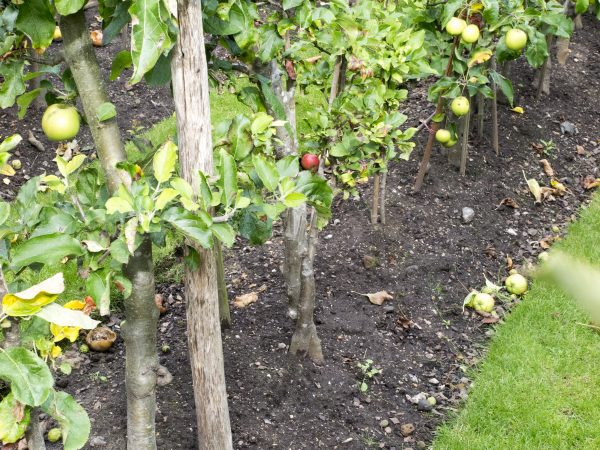 Plant cordon trees closely for an orchard in the garden