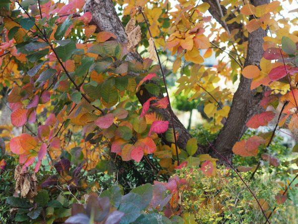 Cotinus autumn colour